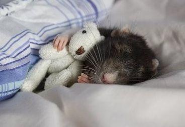 patkány alszik