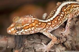 Madagaszkári tarka gekkó