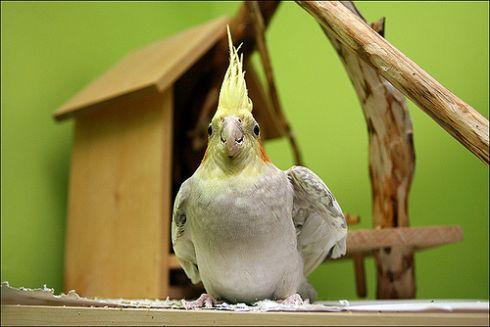 madár, kakadu, üveg