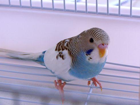 papagáj, toll, madártoll