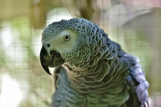 beszelo_papagaj