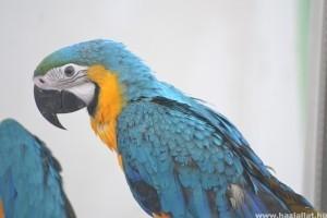 Beszélő papagájok: minél több nyelven dalol, annál kelendőbb