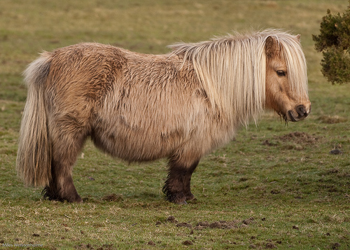 Shetland póni