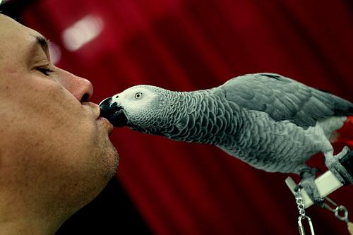 Jákópapagáj puszi