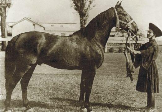 Nóniusz: angol félvér jellegű, magyar lófajta