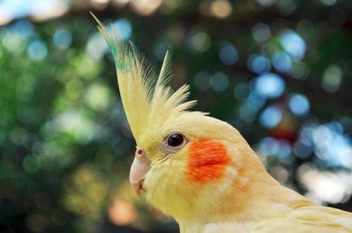 Nimfapapagáj, nimfa, papagáj