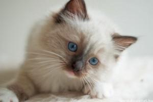 Kiscicát szeretnék, milyen fajtát válasszak?
