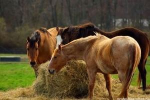 6c9206f40d35 A ló takarmányozása - Lovak takarmányozása
