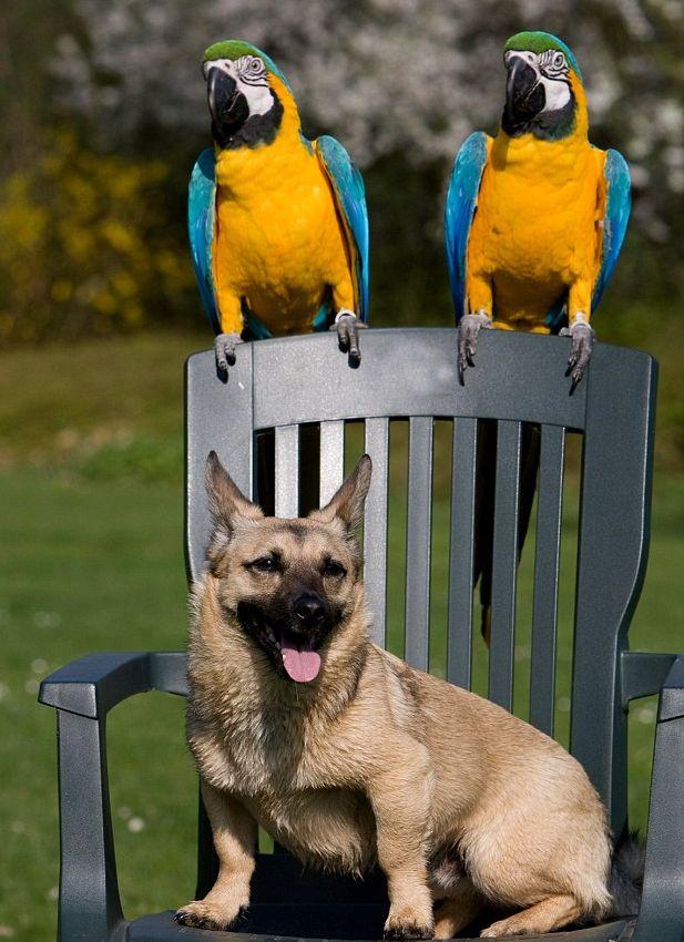 Fogócska: arapapagáj kontra kutya