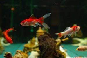 Agresszió az akváriumban vagy jószomszédi uszony?
