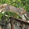 A macskák mindig talpra esnek?