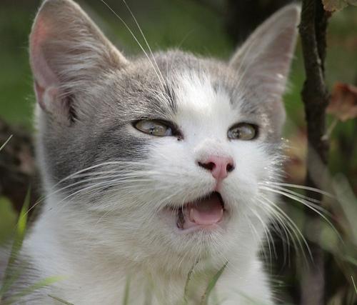 Mi a macskanátha?