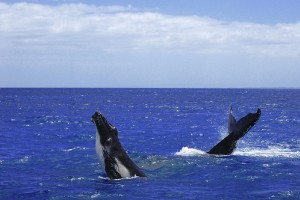 Kihalnak a kistestű bálnák!