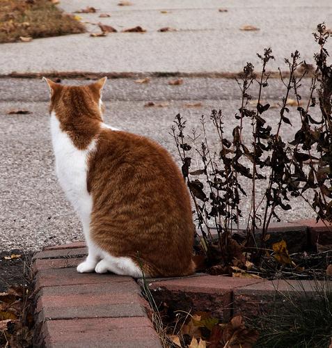 maganyos-macska