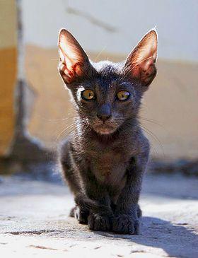 fekete-kiscica