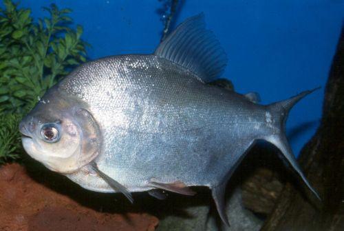 Vega piranha: a gyümölcsgyilkos