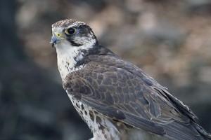 A turul madár (kerecsensólyom) útja és sorsa Európában