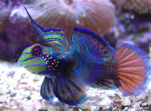 Mandarinhal: barátok közt szeret úszkálni