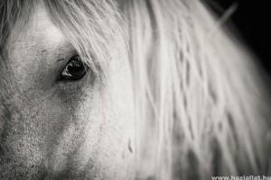 Andalúz ló, a nagyszerű ősi lófajta