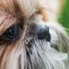 Kutya orrcimpa műtétje