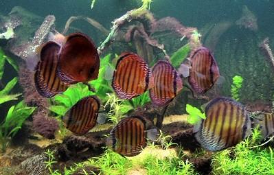 barna-diszkoszhal