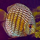 barna-diszkoszhal-foto