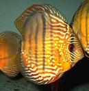 narancssarga-diszkoszhal