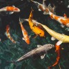 Kerti tó téliesítése – a fázós aranyhal három kívánsága