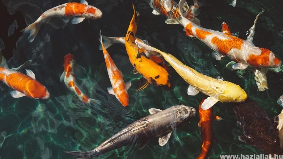 Kerti tó téliesítése: mire figyeljünk, mikor vegyük ki a halakat? h