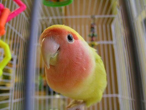 madár, kalitka, életkor