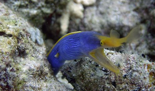 kék-sarga-szalagos-murena