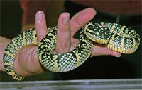 kígyó kézben