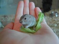 kis lemming kézben tartva