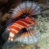 Tűzhalak: a korallzátonyok csúcsragadozói