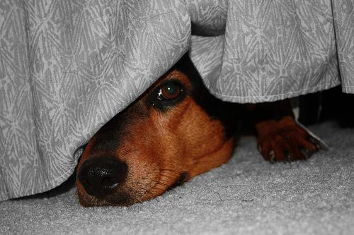 Ágy alá bújt kutya
