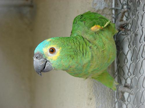Kékhomlokú amazonpapagáj (Amazona aestiva)