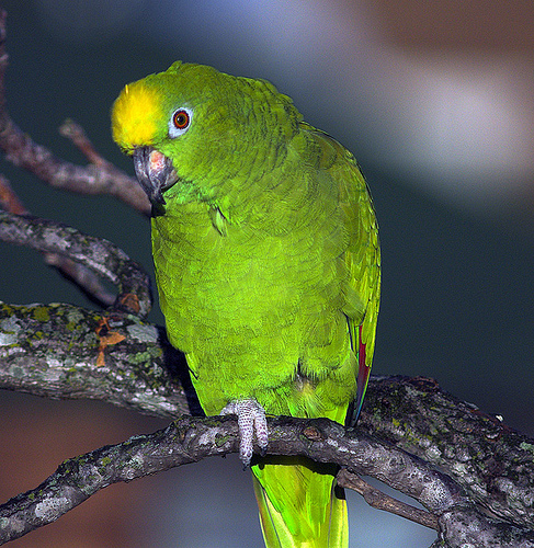 Sárgahomlokú amazonpapagáj (Amazona ochrocephala)
