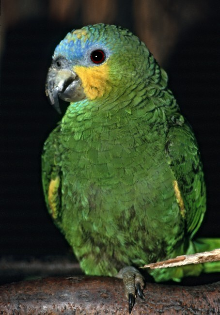 Venezuelai amazonpapagáj (Amazona amazonica)