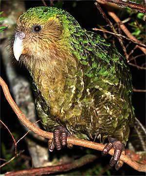 Kakapo madár