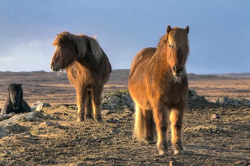 Két izlandi póniló