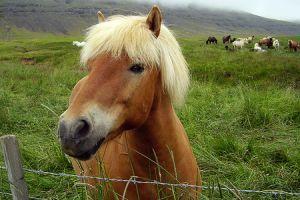 Izlandi póni - a jellegzetes mozgású ló