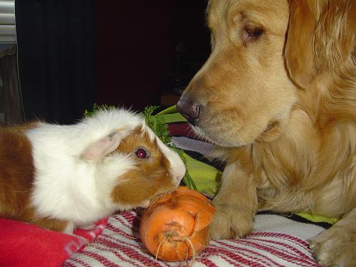 Golden retriever kutya és tengerimalac