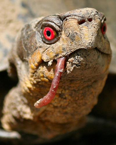 teknős, szájában egy giliszta