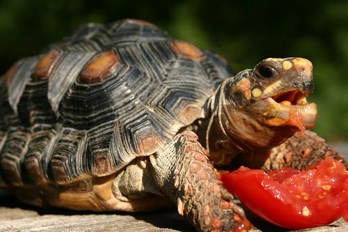 Teknős paradicsomot eszik