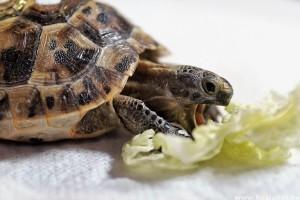 Vitaminhiányos a teknős? Orvosi segítség szükséges!