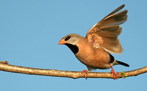 Ékfarkú amandina repülni készül