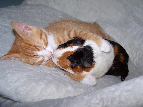 macska-es-tengerimalac
