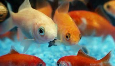 fehér és narancssárga halak