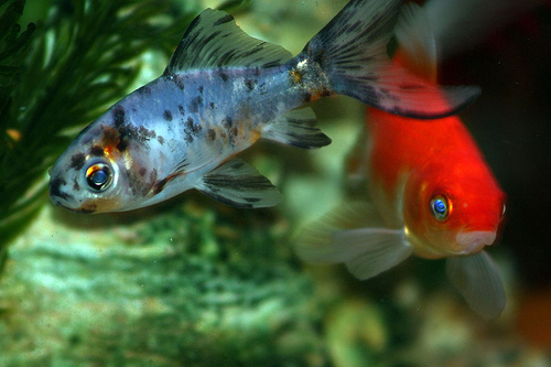 Szürke és piros halak