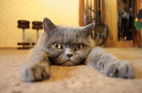 szobacica, macskajáték